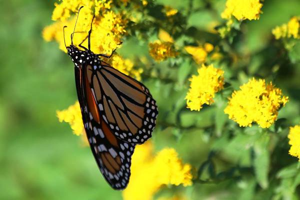 Photograph - Monarch Butterfly II by Carol Montoya