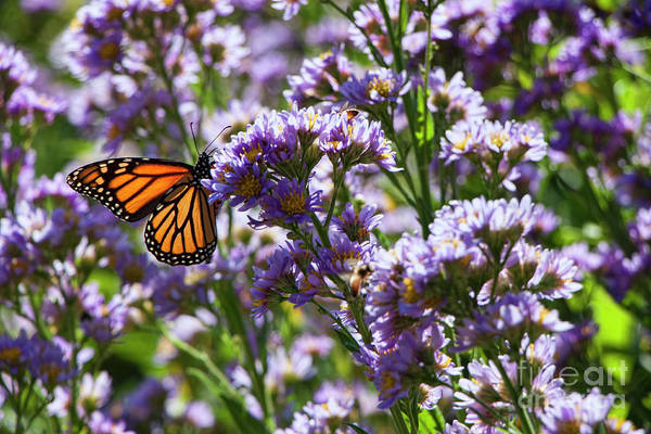 Photograph - Monarch Butterfly by Jeff Breiman