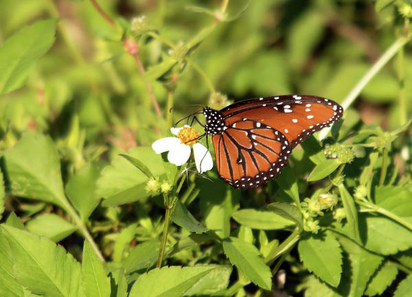 Photograph - Monarch Butterfly by Karl Ford