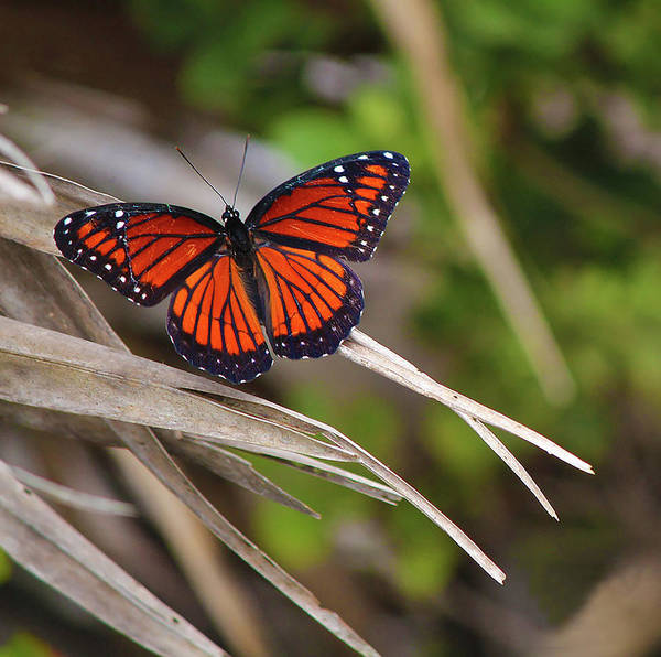 Photograph - The Monarch  by Kevin Banker