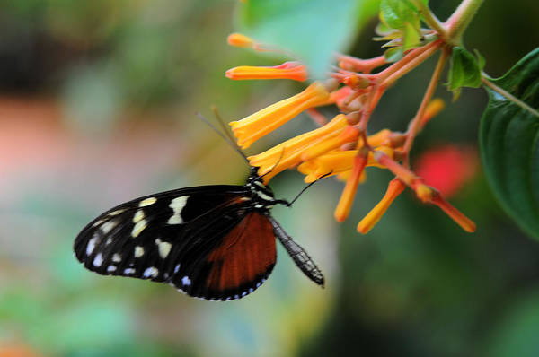Photograph - Monarch Butterfly by Lawrence Christopher