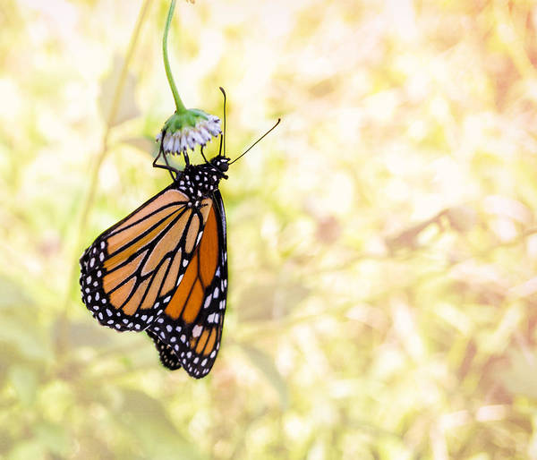 Photograph - Monarch Butterfly Hanging On Wildflower by Louise Lindsay
