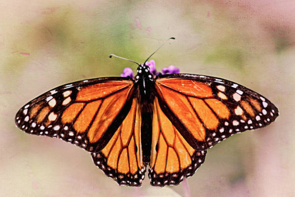 Nature Knows Best Wall Art - Photograph - Monarch Butterfly by Marcia Colelli