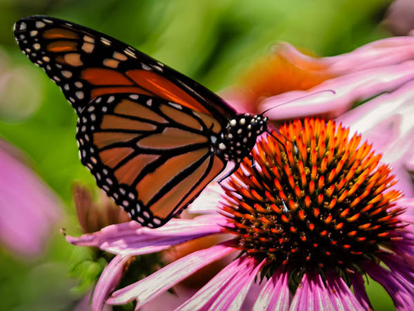 Photograph - Monarch Butterfly No.41 by Mark Myhaver