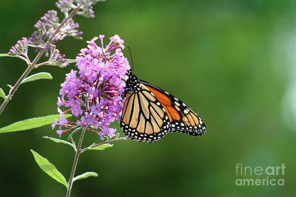 Photograph - Monarch Butterfly On Butterfly Bush 2011 by Karen Adams