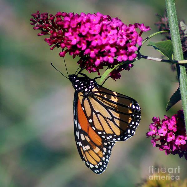 Photograph - Monarch Butterfly On Butterfly Bush by Karen Adams