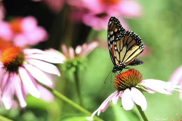 Photograph - Monarch Butterfly On Coneflower by Trina Ansel