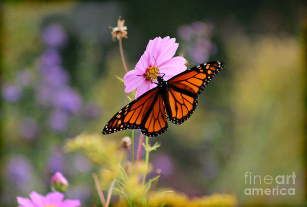 Photograph - Monarch Butterfly On Cosmos Flower by Karen Adams