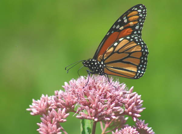 Wall Art - Photograph - Monarch Butterfly On Joe Pye Weed by John Burk