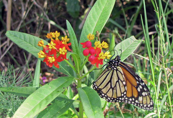 Photograph - Monarch Butterfly On Milkweed  by Richard Nickson