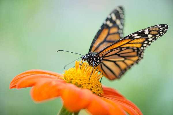 Wall Art - Photograph - Monarch Butterfly On Orange Zinnia by Oscar Gutierrez