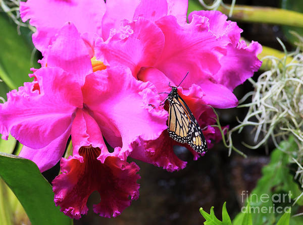 Photograph - Monarch Butterfly On Orchids by Jill Lang