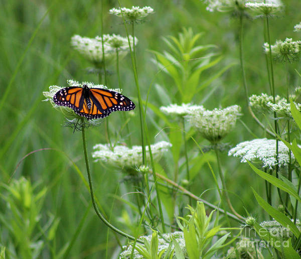 Photograph - Monarch Butterfly On Queen Annes Lace by Karen Adams