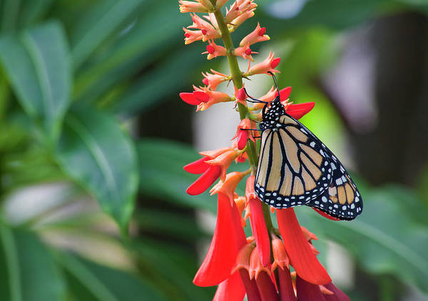 Photograph - Monarch Butterfly On Red Flowers by Jill Lang