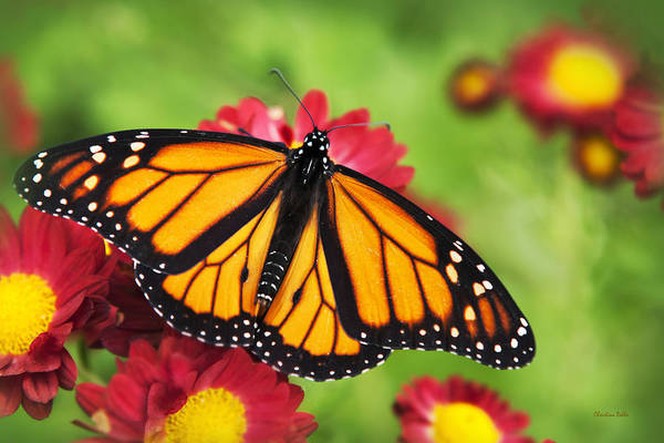 Photograph - Monarch Butterfly On Red Mums by Christina Rollo
