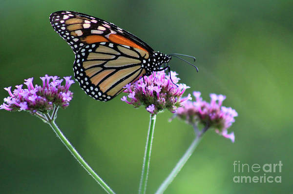Photograph - Monarch Butterfly On Three Verbena Flowers 2017 by Karen Adams