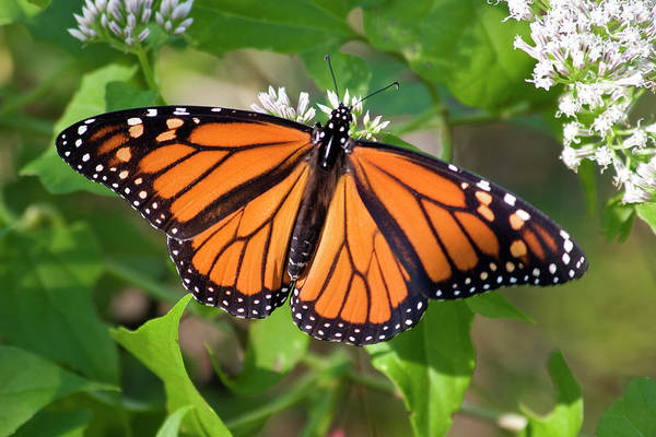 Photograph - Monarch Butterfly On White Flowers by Jill Lang