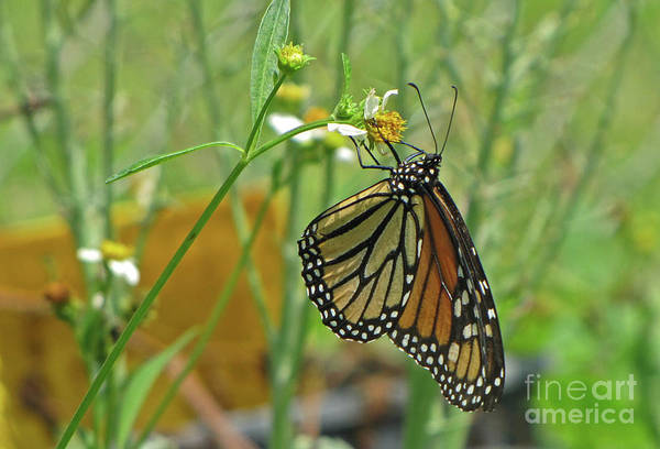 Photograph - Monarch Butterfly by Richard Nickson