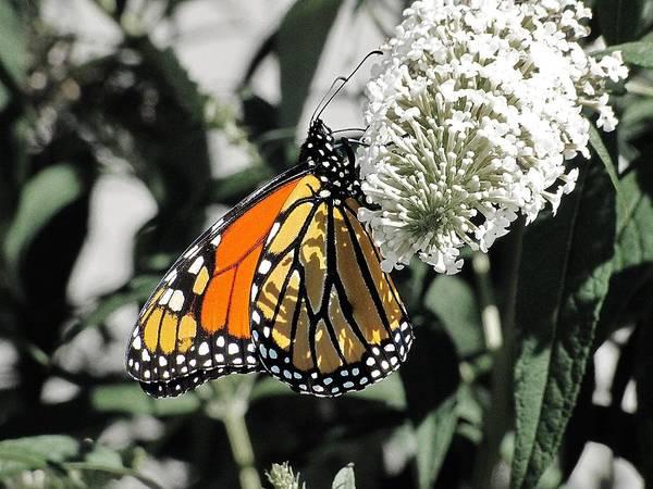 Photograph - Monarch Butterfly by Scott Hovind
