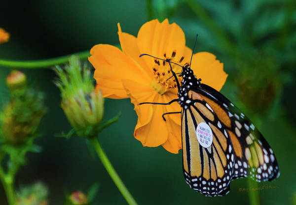Photograph - Monarch Butterfly Tagged by Edward Peterson