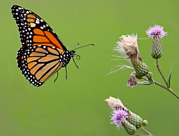 Photograph - Monarch Butterfly by William Jobes
