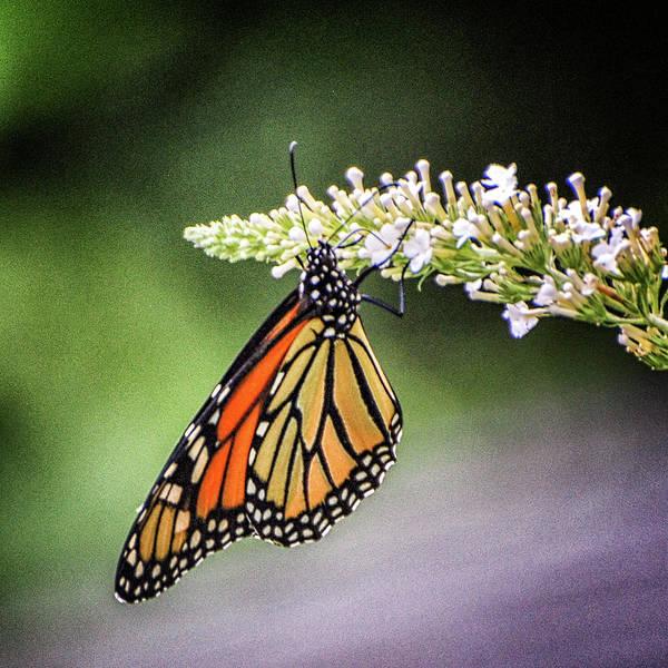 Wall Art - Photograph - Monarch Butterfly by Winnie Chrzanowski