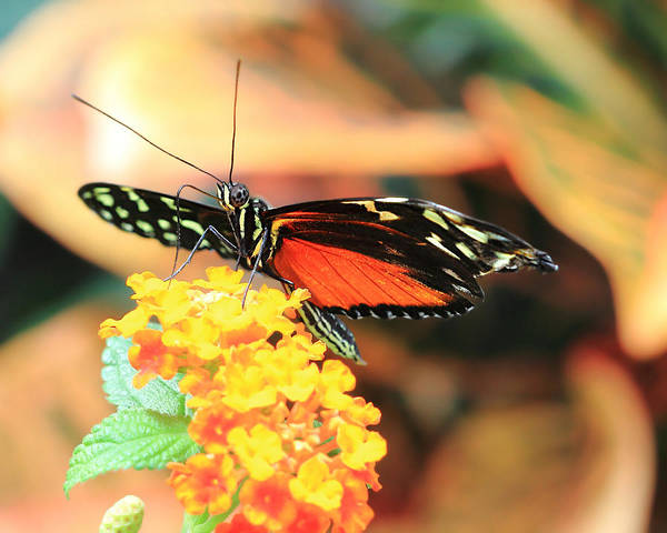 Photograph - Monarch Butterfly With Wings Spread by Angela Murdock