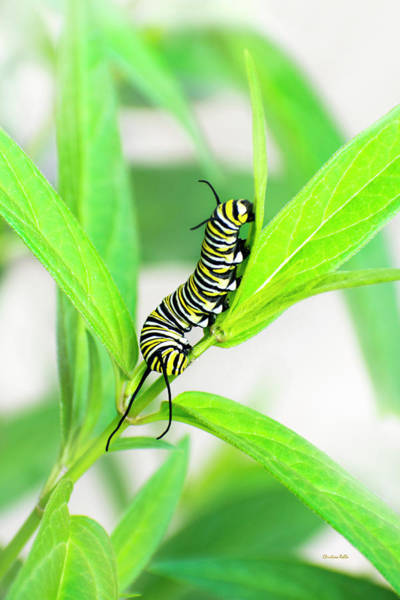 Photograph - Monarch Caterpillar by Christina Rollo