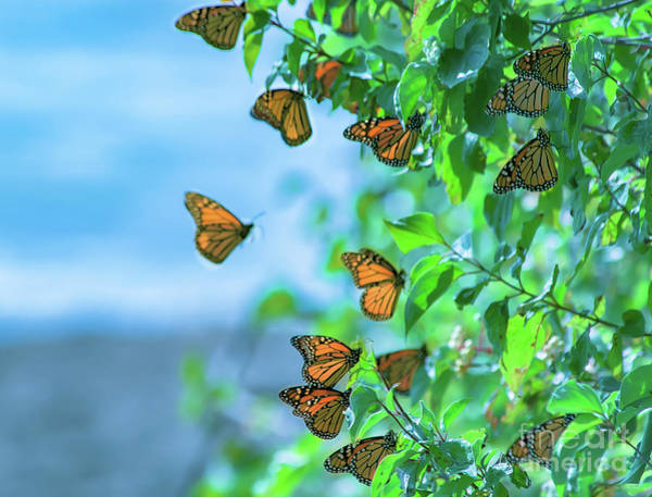 Southern Ontario Photograph - Monarch Cluster At Point Pelee by Janal Koenig