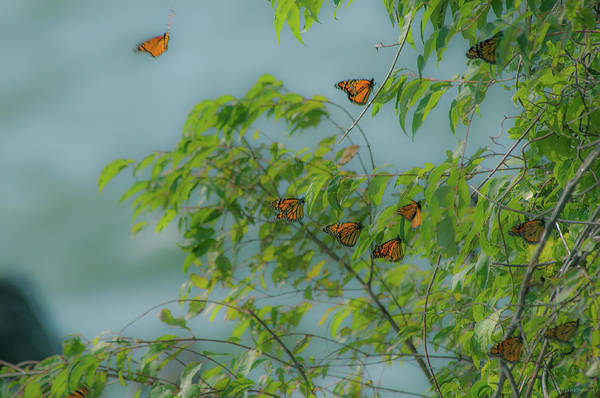 Southern Ontario Photograph - Monarch Cluster by Janal Koenig