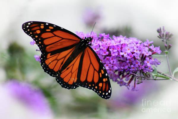 Photograph - Monarch Dreams by Karen Adams