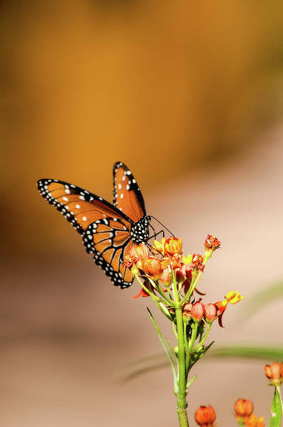 Photograph - Monarch by Emily Bristor