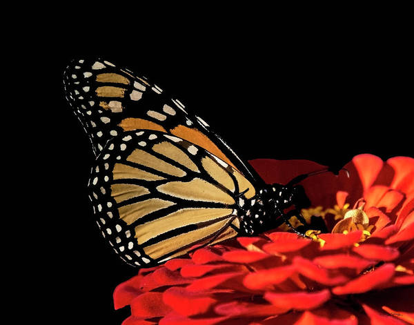 Photograph - Monarch Enjoying Fall Flowers by Sally Sperry