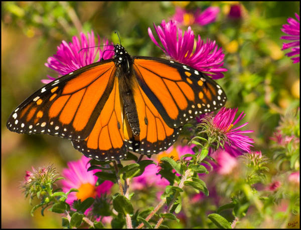 Photograph - Monarch Feeding by Chris Lord