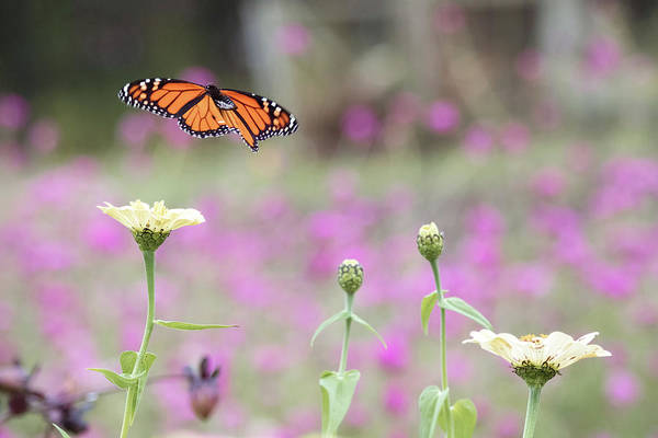 Photograph - Monarch Fluttering About by Brian Hale