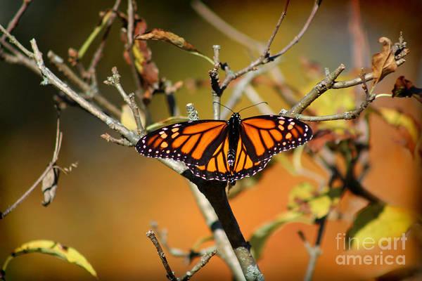 Photograph - Monarch In Fall by Karen Adams