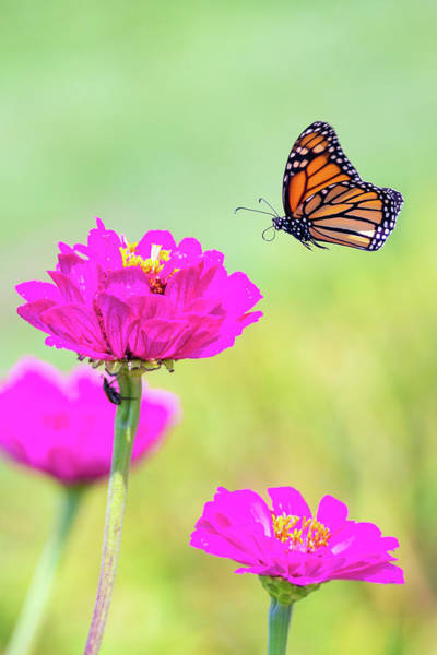 Photograph - Monarch In Flight 1 by Brian Hale