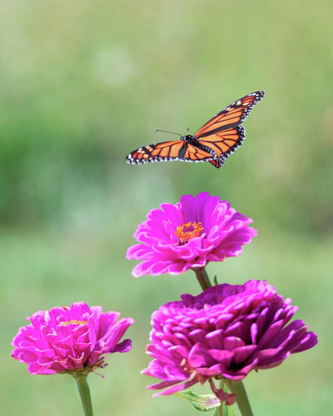 Photograph - Monarch In Flight 2 by Brian Hale