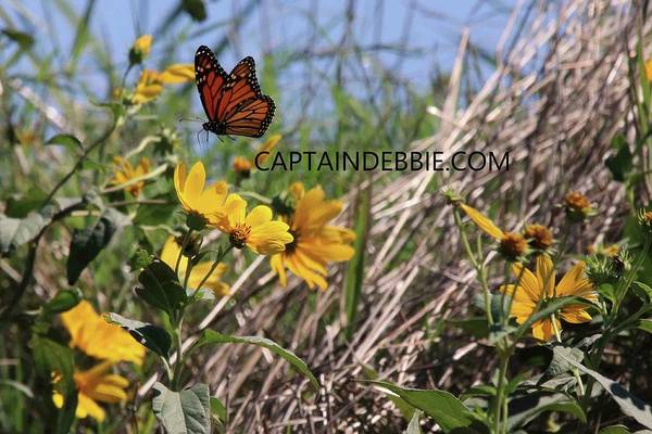 Photograph - Monarch In Flight Over Cone Flowers by Captain Debbie Ritter