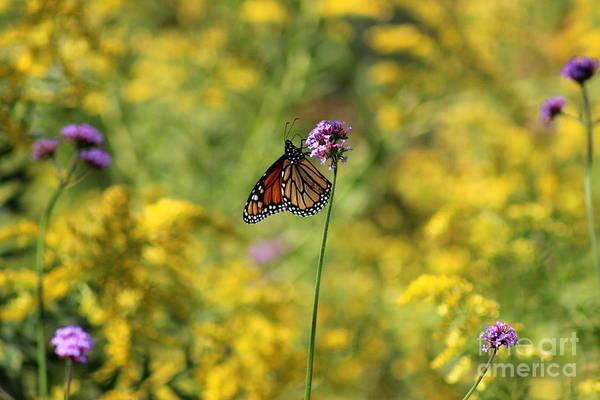 Photograph - Monarch In Golden Field by Karen Adams