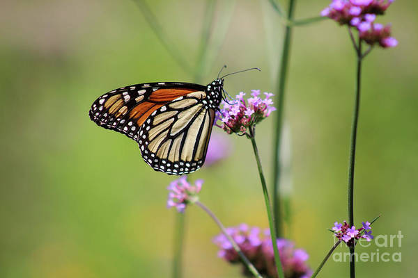 Photograph - Monarch In Green Meadow by Karen Adams