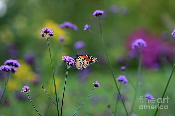 Photograph - Monarch In Meadow by Karen Adams