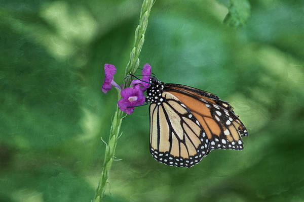 Photograph - Monarch In The Garden by Kim Hojnacki