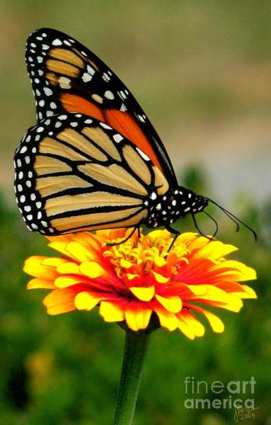 Photograph - Monarch by Jeff Breiman