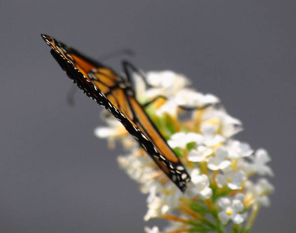 Photograph - Monarch by Juergen Roth