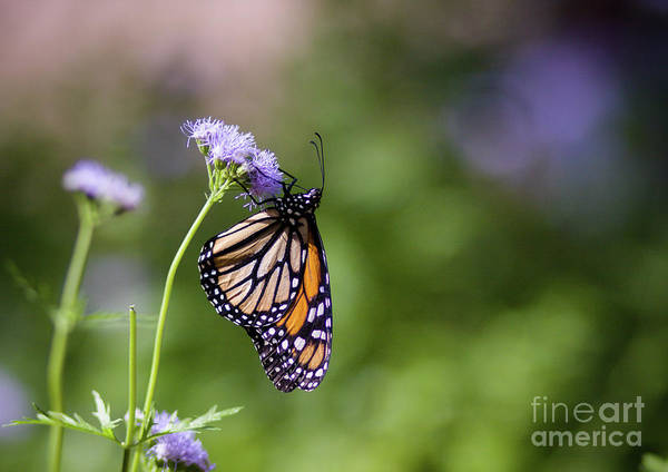 Photograph - Monarch by Julia Rigler