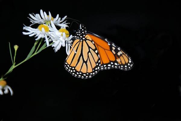 Photograph - Monarch King Of Butterflies by AnnaJanessa PhotoArt