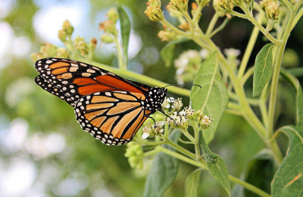 Photograph - Monarch by Kristin Elmquist