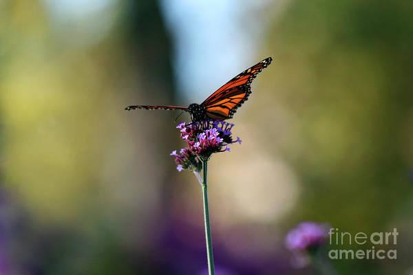 Photograph - Monarch Landing by Karen Adams