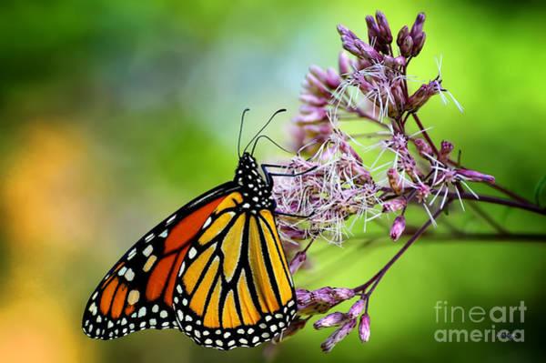 Photograph - Monarch by Lois Bryan